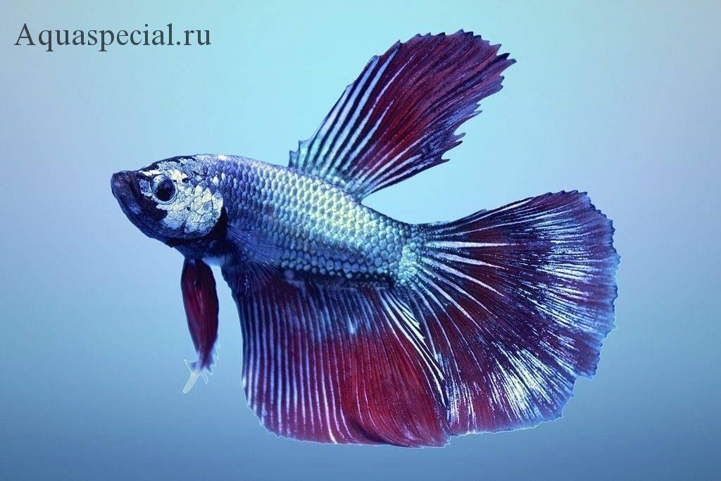 Рыбка сиамский петушок дельта фото