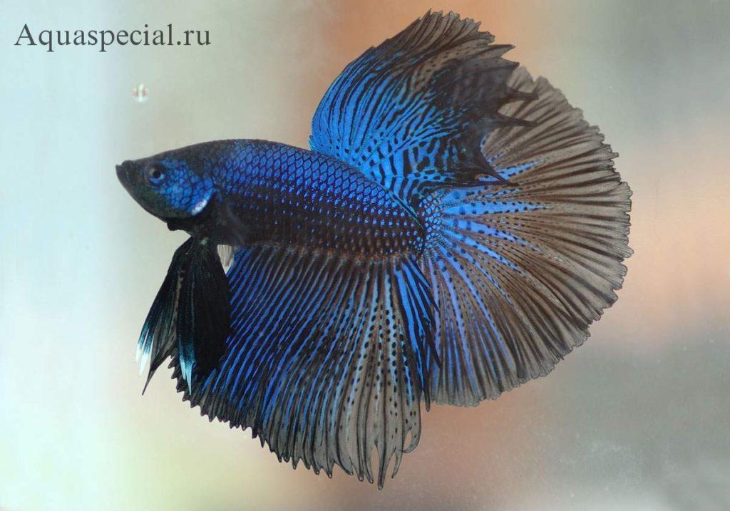 Сиамский петушок супердельта фото черно синий