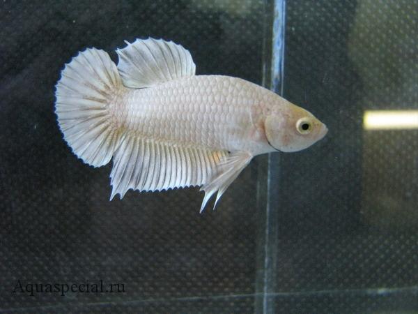 Рыба круглохвостый сиамский петушок фото. Альбинос. Белый петушок рыбка