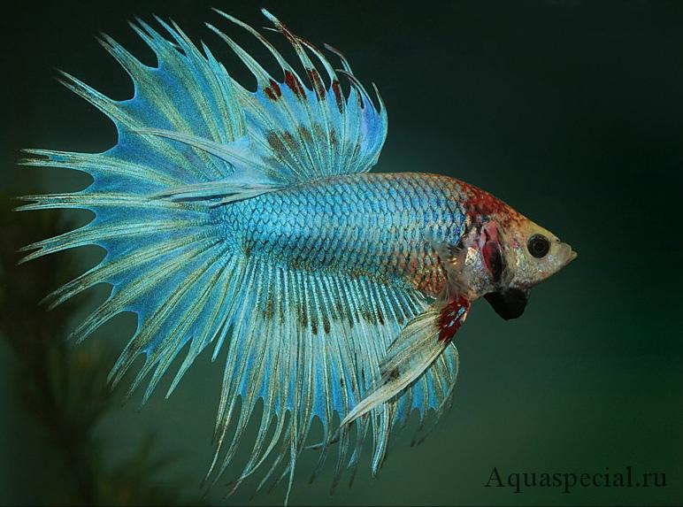 Сиамский петушок полусолнце фото. Голубой петушок
