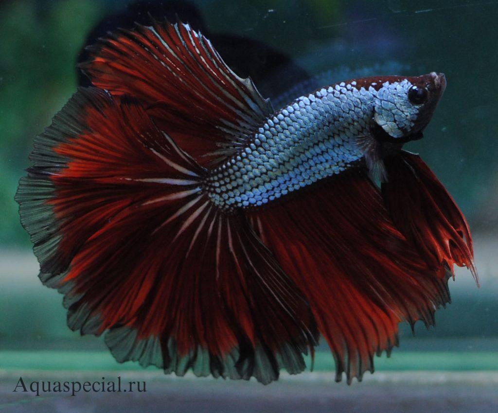 Рыба сиамский петушок полумесяц фото. Содержание рыбок петушков в аквариуме