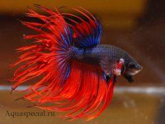 Рыбка сиамский петушок. Содержание, разведение, виды, описание с фото