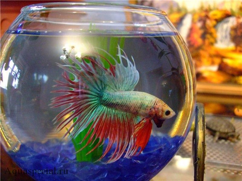 Рыба петушок с какими рыбками можно держать фото