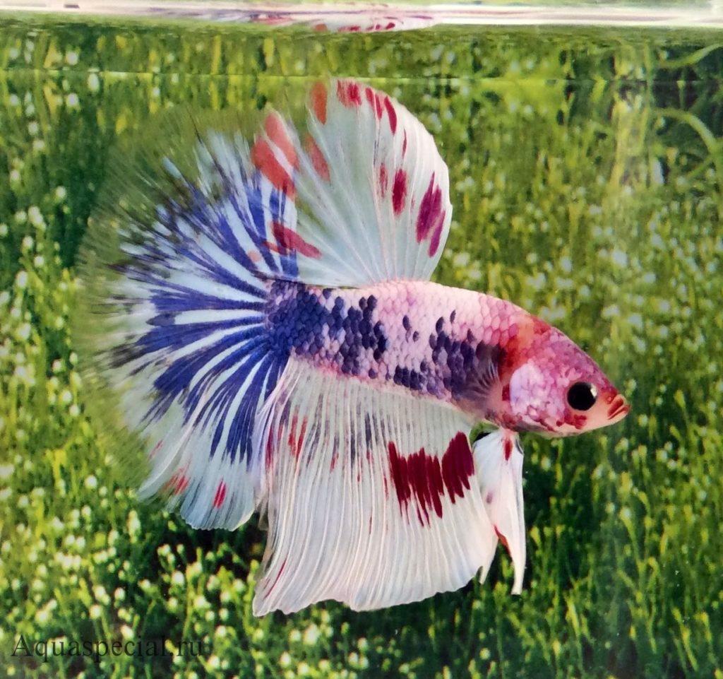 Сиамский петушок фото. Уход и содержание рыбок петушков