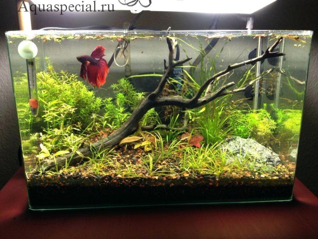 Рыбка петушок в аквариуме чем кормить
