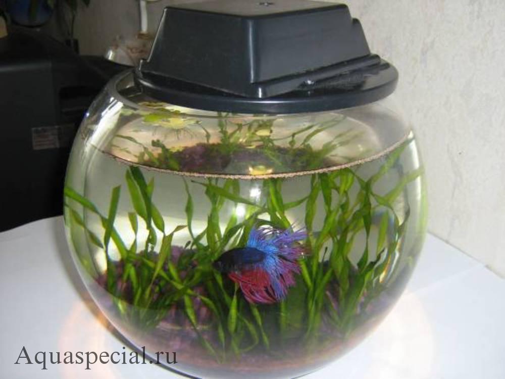 Рыбка петушок в круглом аквариуме фото, Валлиснерия спиральная.