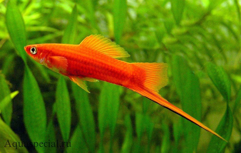 Красный меченосец самец фото