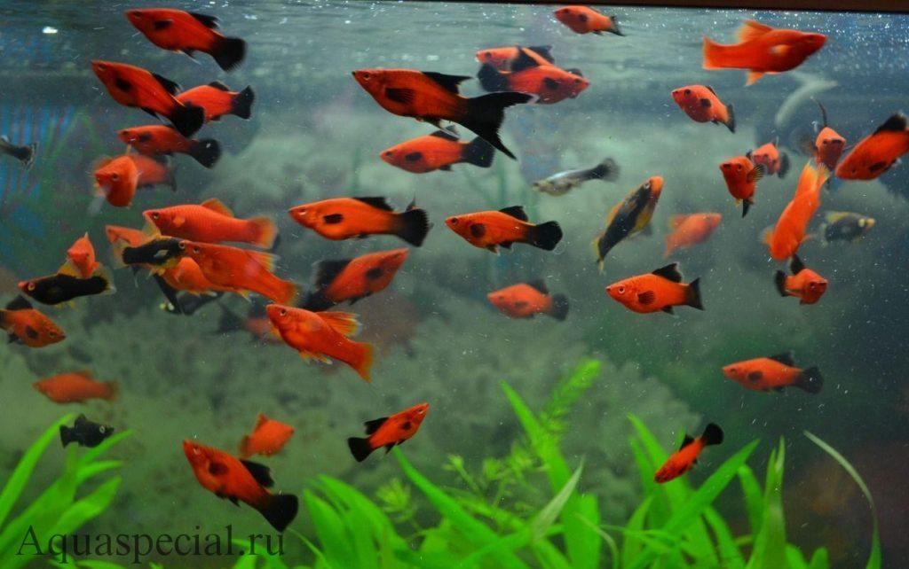 Меченосцы в аквариуме. Неприхотливые аквариумные рыбки