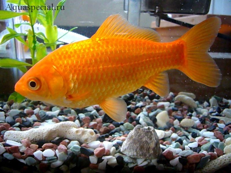 Золотая рыбка обыкновенная фото. Описание
