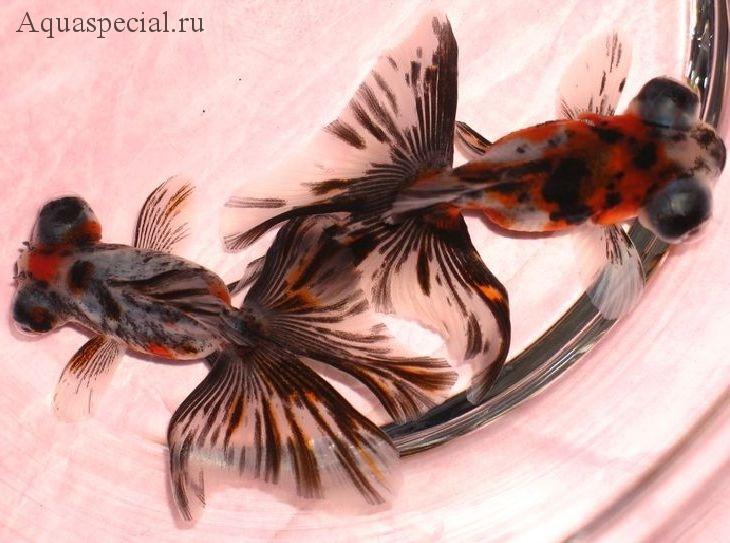 Золотая рыбка бабочка дзикин (телескоп)