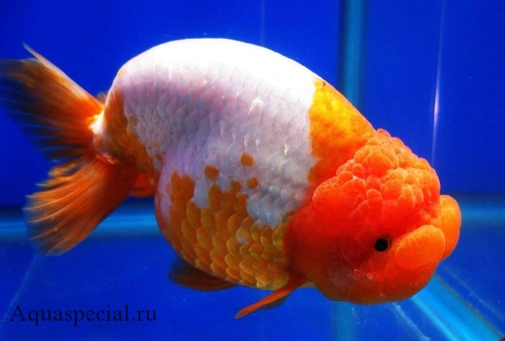 Золотая рыбка Ранчу описание с фото
