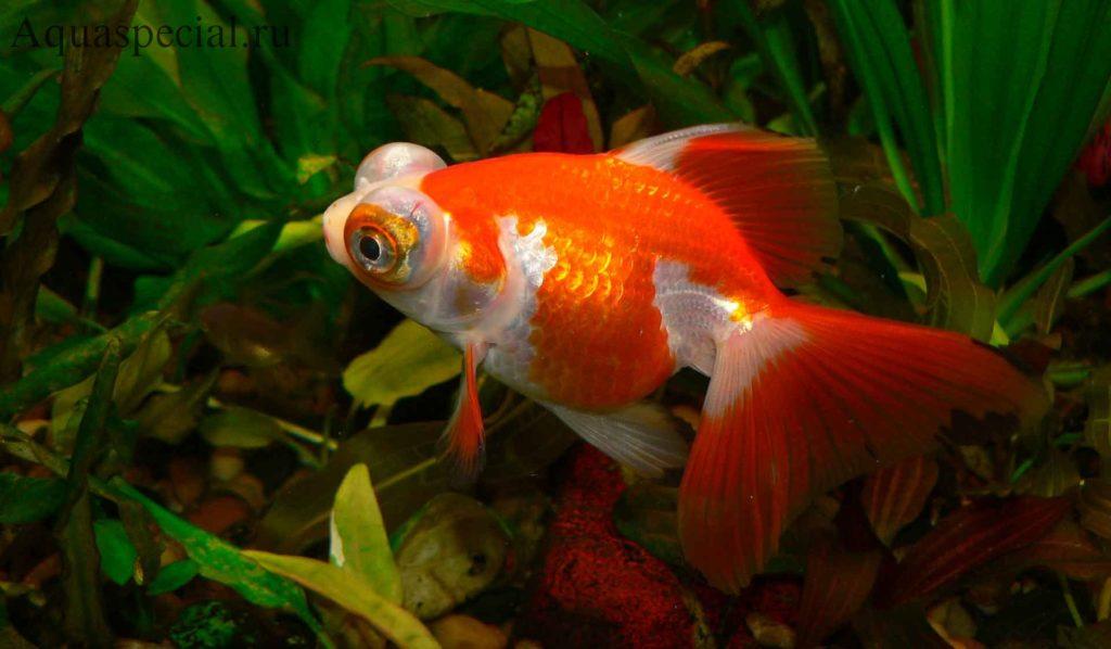 Золотая рыбка телескоп фото