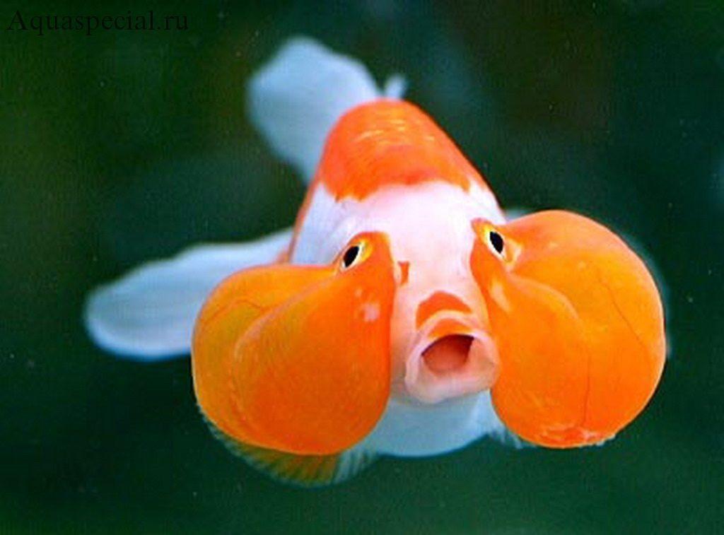 Золотая рыбка Пузыреглаз (водяные глазки) фото