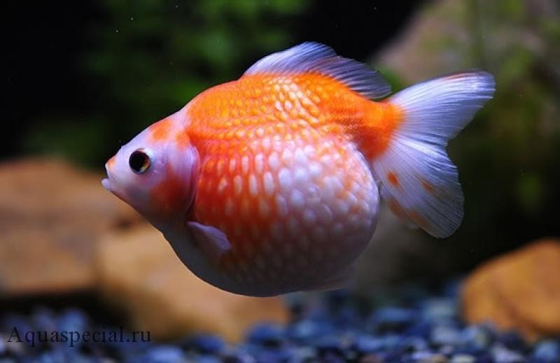 Золотая рыбка жемчужинка фото