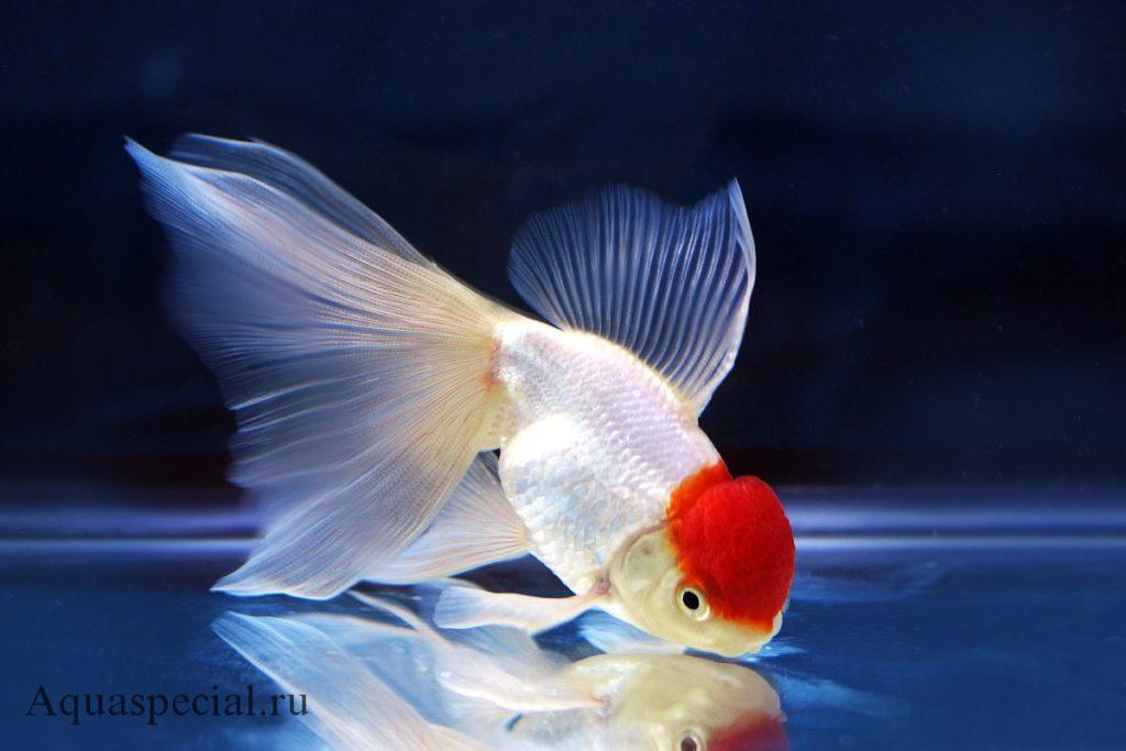 Зололтая рыбка Оранда (красная шапочка) фото