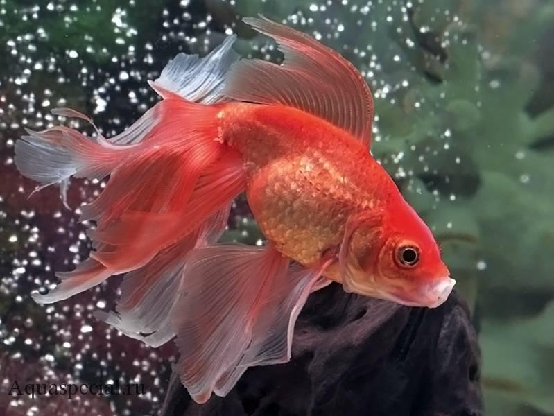 Золотая вуалевая рыбка. Вуалехвост