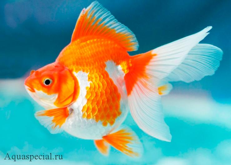 Золотая рыбка Рюкин фото