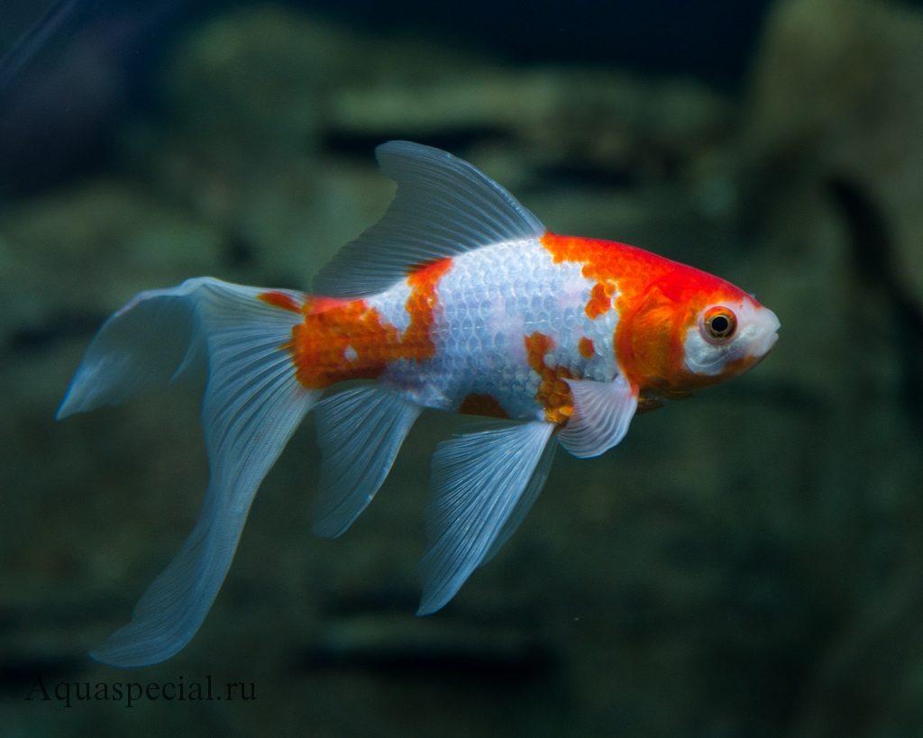 Золотая рыбка комета фото