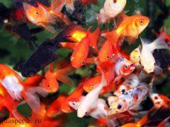 Золотые рыбки в аквариуме. Виды, описание с фото, уход и содержание