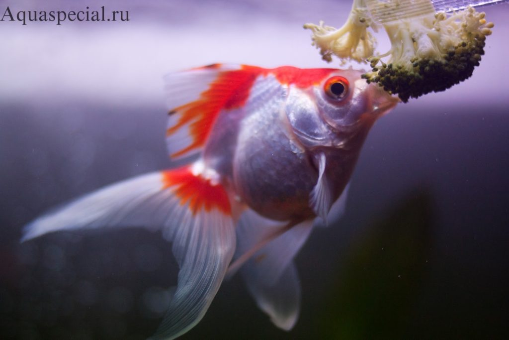 Как кормить золотых рыбок