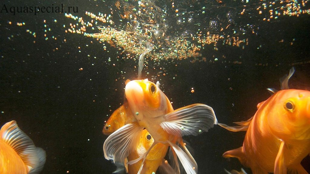 Чем кормить золотых рыбок