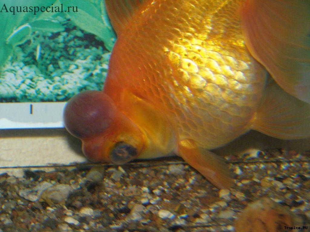 Болезни золотых рыбок. Опухоль у золотой рыбки