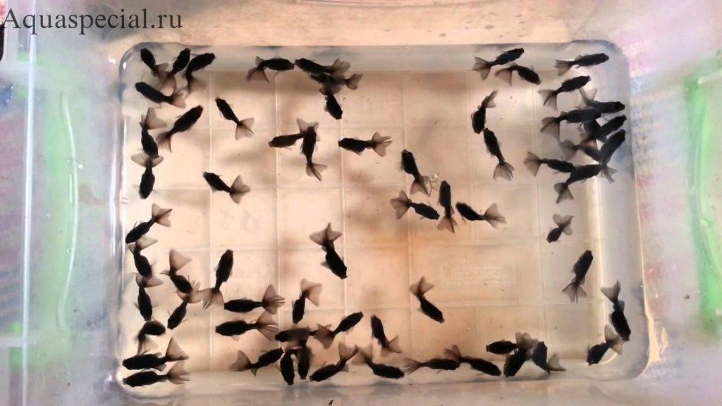 Разведение золотых рыбок. Мальки телескопов