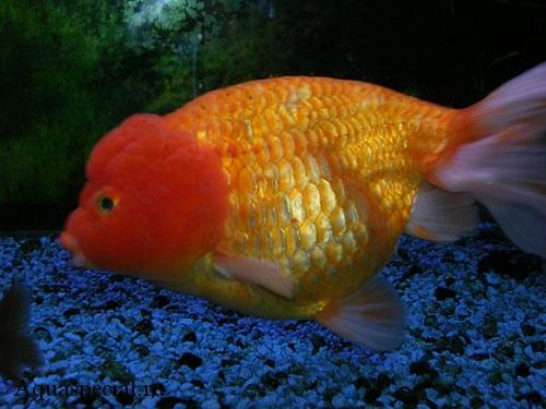 Золотая рыбка львиноголовка фото