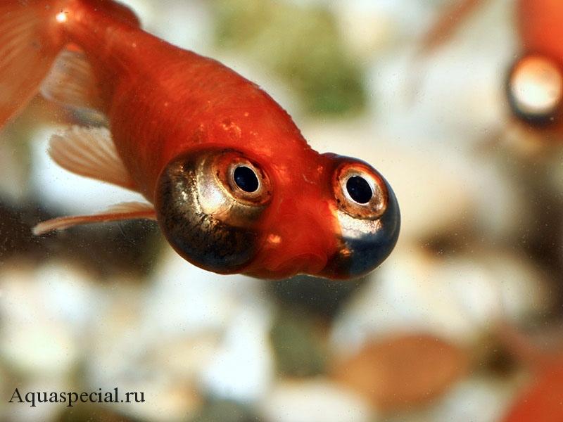 Золотая рыбка звездочет описание с фото. Рыба звездочет как выглядит. Рыба телескоп (водяные глазки)