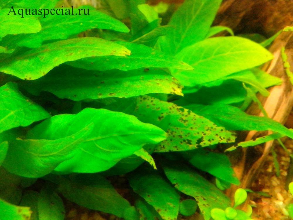 Болезни аквариумных растений. Недостаток калия фото. На поверхности листьев появляются желтые пятна. Заболевания растений