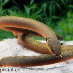 Каламоихт калабарский или рыба змея