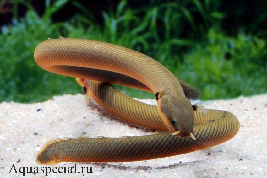 Каламоихт калабарский или рыба змея фото