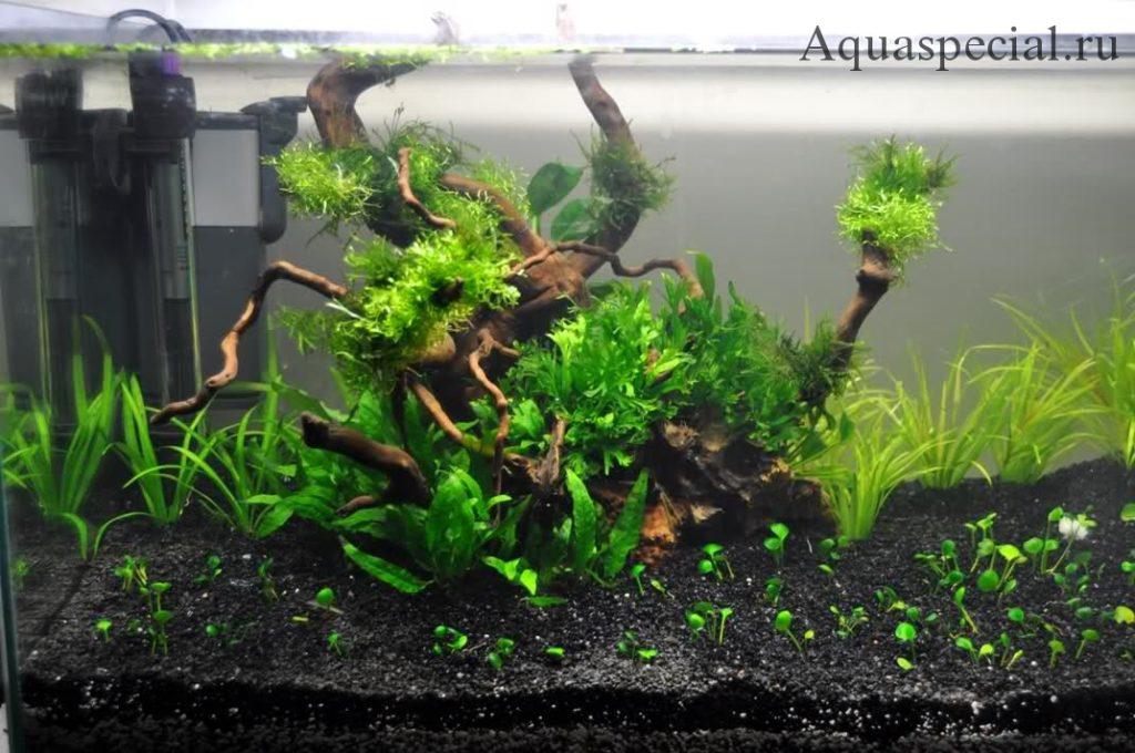 Марсилия как посадить в аквариуме