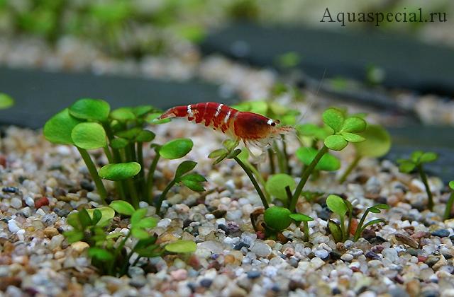 Марсилия аквариумное растение или водный клевер фото