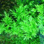 Гигрофила изменчивая или синема деморфная в аквариуме фото