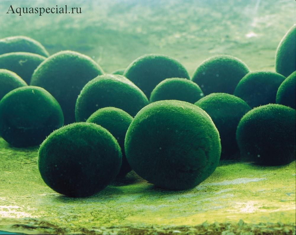 Кладофора шаровидная в аквариуме. Как размножить кладофору