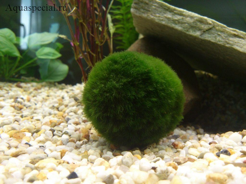 Кладофора в аквариуме фото. Условия содержания кладофоры
