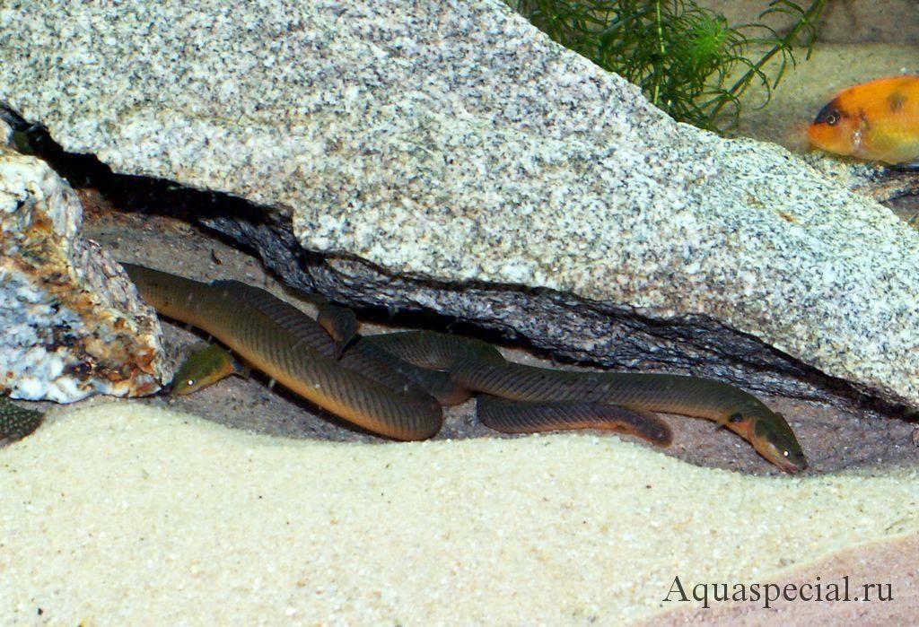 Каламоихт калабарский или  рыба змея в аквариуме. Укрытия для каламоихта