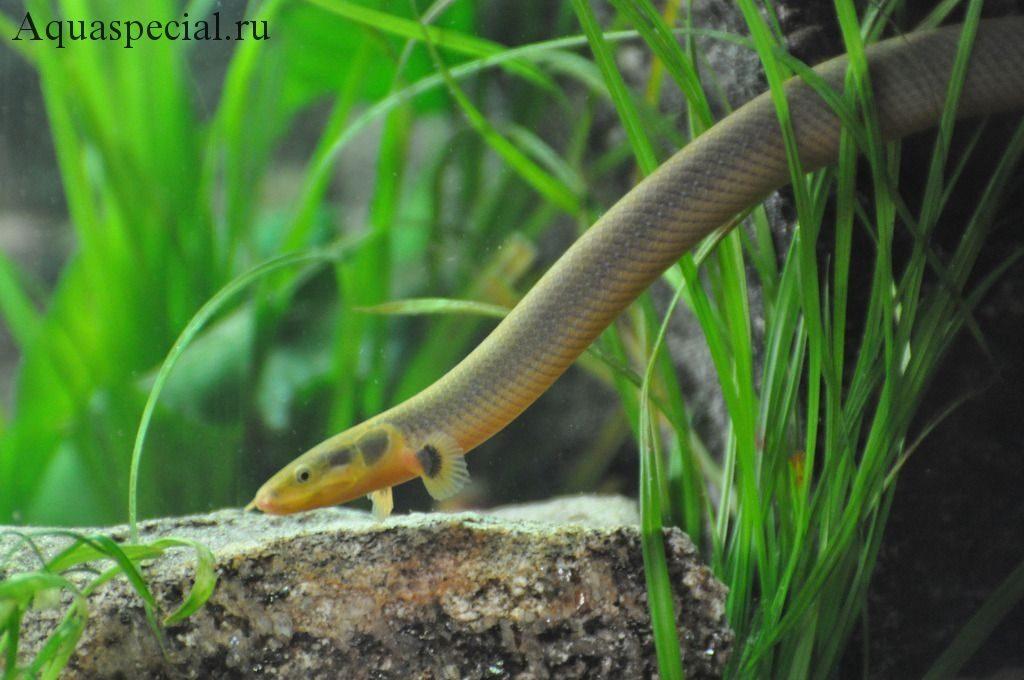 Каламоихт Калабарский или рыба змея описание с фото. Содержание змеевидной рыбы