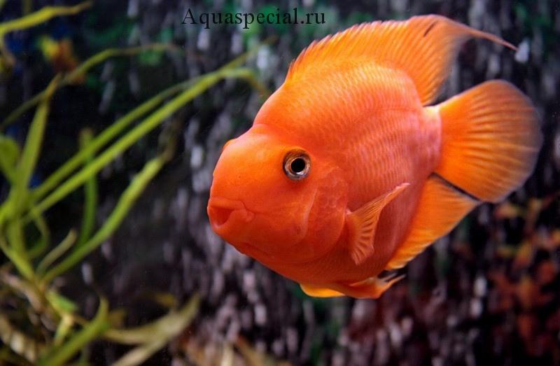 Рыба попугай красный содержание, виды, разведение, описание с фото