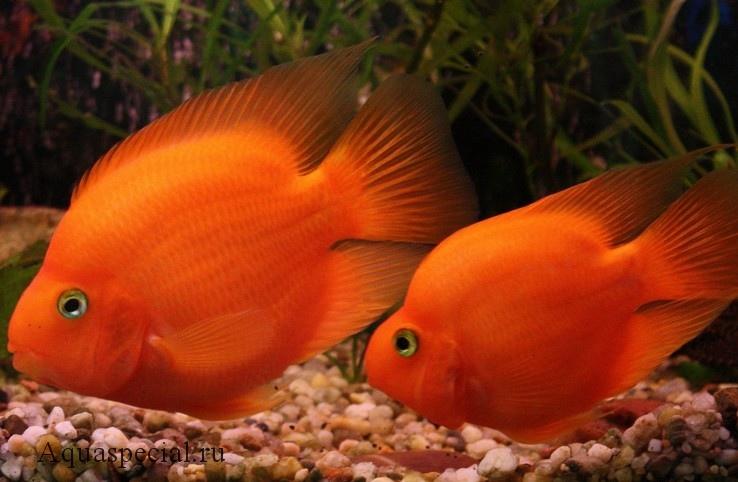 Рыбка красный попугай описание с фото.