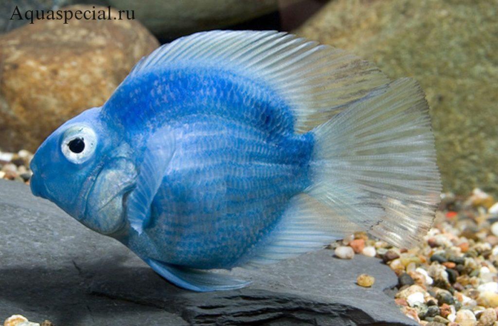 Рыбка голубой (синий) попугай описание с фото