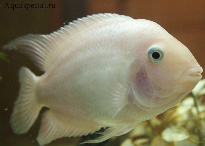 Рыбка белый попугай. Рыба попугай альбинос фото