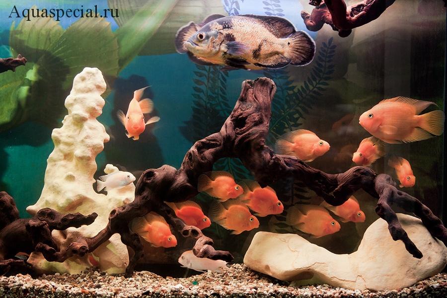 Рыбка попугай совместимость. Попугай и астронотус в общем аквариуме