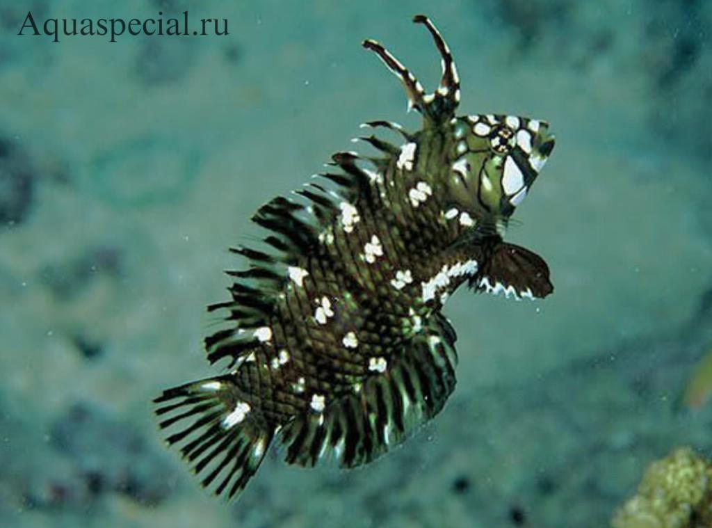 Самые странные и необычные аквариумные рыбки описание с фото. Губан дракон