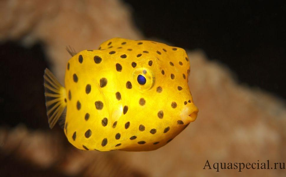 Самые странные и необычные аквариумные рыбки описание с фото. Кузовок кубик или рыба коробка