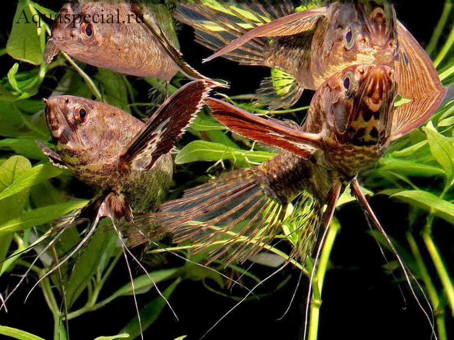 Самые странные и необычные аквариумные рыбки описание с фото. Пантодон или рыба бабочка