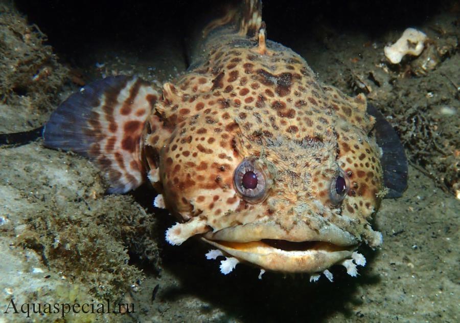 Самые странные и необычные аквариумные рыбки описание с фото. Рыба жаба