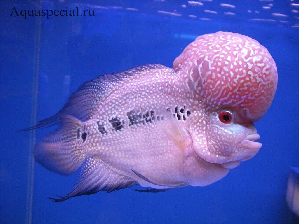 Самые странные и необычные аквариумные рыбки описание с фото. Флауэр Хорн