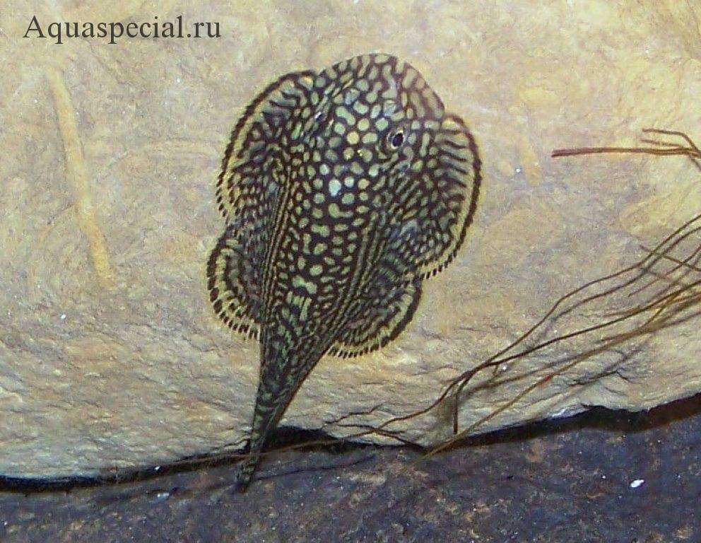Самые странные и необычные аквариумные рыбки описание с фото. Бефортия